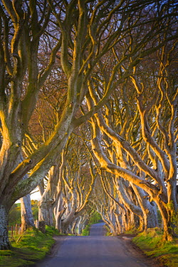NIR8850AW United Kingdom, Northern Ireland, County Antrim, Stranocum. The Dark Hedges are a magnificent avenue of Birch trees planted in the Eighteenth Century by the Stuart family.