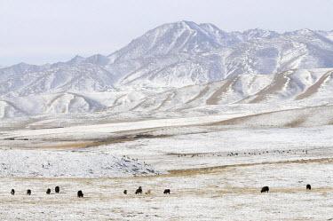 HMS0909587 China, Qinghai Province, Amdo, Gartse region, Yak herd