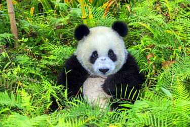 HMS2428789 China, Sichuan province, Chengdu, Research Base of Giant Panda Breeding or Chengdu Panda Base, Giant Panda (Ailuropoda melanoleuca), captive