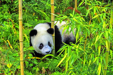 HMS2428794 China, Sichuan province, Chengdu, Research Base of Giant Panda Breeding or Chengdu Panda Base, Giant Panda (Ailuropoda melanoleuca), captive