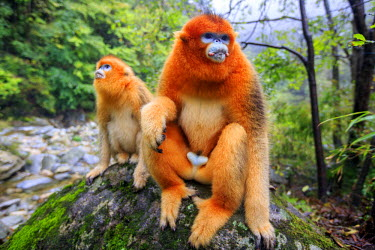 HMS2451154 China, Shaanxi province, Qinling Mountains, Golden Snub-nosed Monkey (Rhinopithecus roxellana), near by a river
