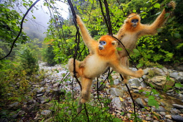 HMS2451175 China, Shaanxi province, Qinling Mountains, Golden Snub-nosed Monkey (Rhinopithecus roxellana), in a tree
