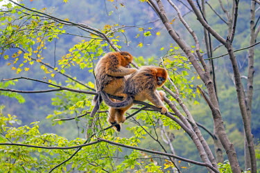 HMS2451192 China, Shaanxi province, Qinling Mountains, Golden Snub-nosed Monkey (Rhinopithecus roxellana), in a tree