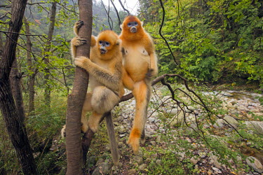 HMS2451196 China, Shaanxi province, Qinling Mountains, Golden Snub-nosed Monkey (Rhinopithecus roxellana), in a tree