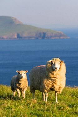 IRL0504AWRF Portmagee, County Kerry, Munster province, Ireland, Europe. Two sheeps grazing on the hill with the atlantic ocean in the background.