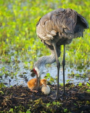US10MPR0877 Just hatched, Sandhill Crane first colt with food in beak, Grus canadensis, Florida