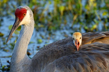 US10MPR0921 Sandhill Crane on nest with baby on back, Grus canadensis, Florida