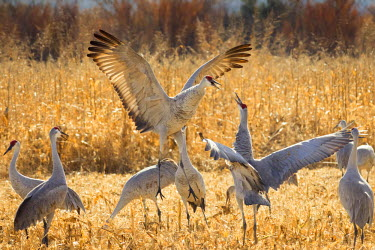 US32MPR0113 Sandhill Cranes in the corn fields, Grus canadensis, Bosque del Apache National Wildlife Refuge, New Mexico, USA