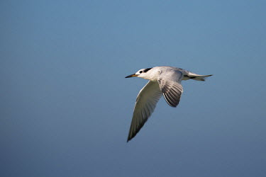 US10SHA0111 Profile of a Tern flying against blue sky, Florida, USA