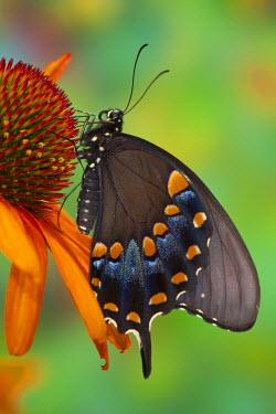 NA02DGU0766 Spicebush Swallowtail, Papilio troilus