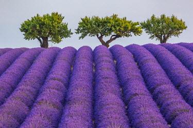CLKFV38371 Lavender raws and trees. Plateau de Valensole, Alpes-de-Haute-Provence, Provence-Alpes-Cote d'Azur, France, Europe.