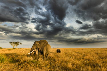 CLKMG42796 African elephant with calf grazing at sunset in Southern Serengeti plains, as a thunderstorm is approaching