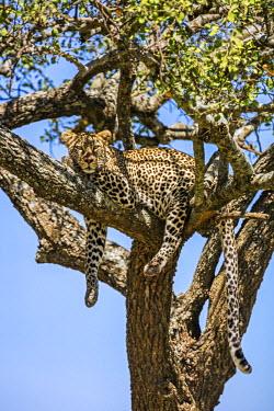 TZ3374 Tanzania, Northern Tanzania, Serengeti National Park. A leopard rests in a tree.