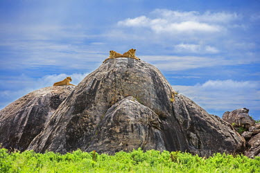 TZ3390 Tanzania, Northern Tanzania, Serengeti National Park. Lions keep watch for their prey on the top of large boulders in the Serengeti.