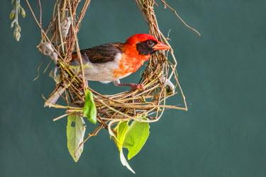 TZ3392 Tanzania, Northern Tanzania, Tarangire National Park. A Red-headed Weaver building its woven nest.