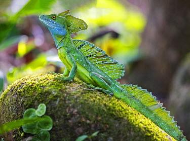 CR33189 Costa Rica, Heredia Province, Sarapuiqi.  An Emerald Basilisk lizard.