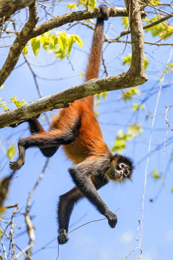 CR33240 Costa Rica, Puntarenas Province, Osa Peninsula.  A Spider Monkey hangs from its prehensile tail which acts as a fifth limb.