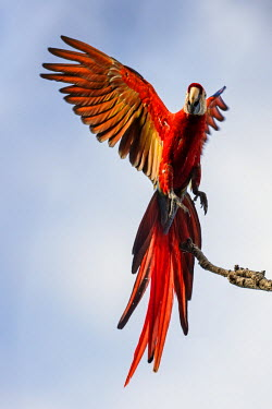 CR33248 Costa Rica, Puntarenas Province, Osa Peninsula.  A Scarlet Macaw taking off.