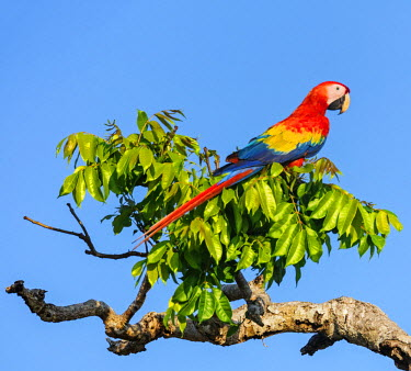CR33253 Costa Rica, Puntarenas Province, Osa Peninsula.  A spectacular Scarlet Macaw.