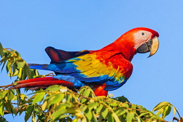 CR33254 Costa Rica, Puntarenas Province, Osa Peninsula.  A spectacular Scarlet Macaw.