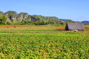 CUB1485 Cuba, Pinar Del Rio Province, Vinales, Parc Nacional Vinales.  The attractive landscape of the Vinales Valley is studded with distinctive limestone hills, known as mogotes. Here, farmers grow top qual...