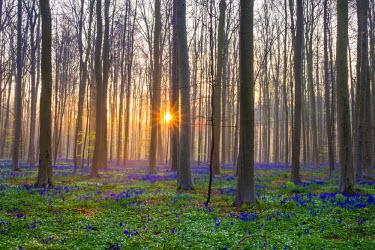 BEL1363AWRF Belgium, Vlaanderen (Flanders), Halle. Bluebell flowers (Hyacinthoides non-scripta) carpet hardwood beech forest in early spring in the Hallerbos forest at sunrise.