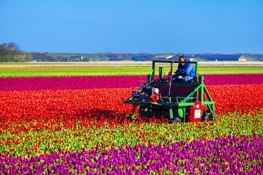 NLD0143AW Netherlands, North Holland, Julianadorp. Dutch farmer cutting tulips, dead heading deadheading tulips with farm machinery.