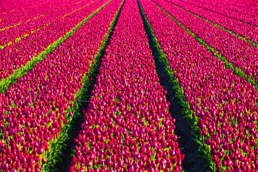 NLD0144AW Netherlands, North Holland, Julianadorp. Colorful tulip flowers in a bulb field in spring.