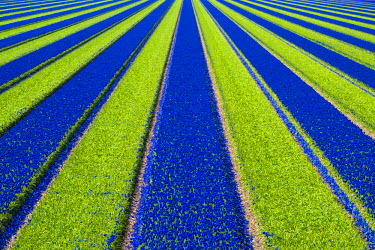 NLD0148AW Netherlands, North Holland, Julianadorp. Colorful blue Grape hyacinth (Muscari) flowers in a bulb field in spring.