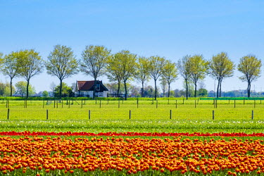 NLD0169AW Netherlands, North Holland, Ursem. Tulips in bloom in front of a rural farm.