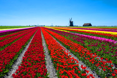NLD0226AWRF Netherlands, North Holland, Schermerhorn. Windmill, polder mill from Schermerhorn group, with colorful tulip field in early spring.