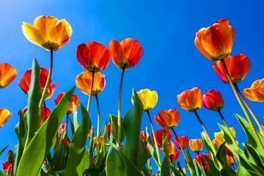 NLD0257AWRF Netherlands, North Holland, Callantsoog. Multicolored tulips flower against a blue sky, near the village of Zipje.
