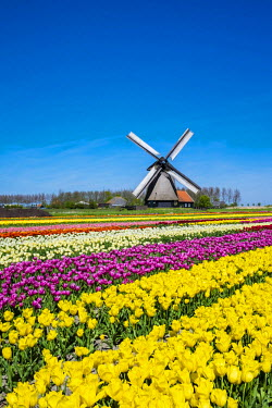 NLD0175AW Netherlands, North Holland, Schermerhorn. Windmill, polder mill from Schermerhorn group, with colorful tulip field in early spring.