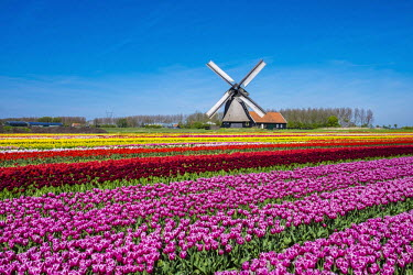 NLD0176AW Netherlands, North Holland, Schermerhorn. Windmill, polder mill from Schermerhorn group, with colorful tulip field in early spring.