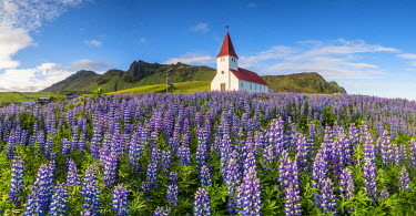 ICE3640AWRF Vik i Myrdal, Southern Iceland. Fields of lupins in bloom and the town church.