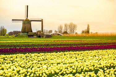 NLD0328AWRF Windmills and tulip fields full of flowers in Netherland