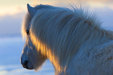 ICE3851 Icelandic Horses, (Equus ferus caballus) at Hali farm, Southern Iceland