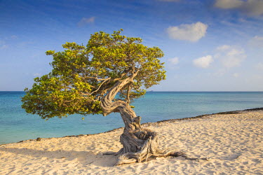 AA033RF Caribbean, Netherland Antilles, Aruba, Divi Divi Tree on Eagle Beach