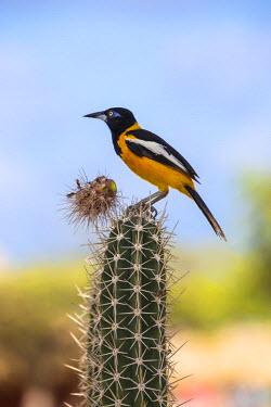 AA01115 Caribbean, Netherland Antilles, Aruba, Troupial bird - a large Oriole on top of cactus