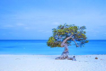 AA01134 Caribbean, Netherland Antilles, Aruba, Divi Divi Tree on Eagle Beach