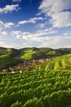 IBLDJS01983813 Vineyards near Schelingen, Kaiserstuhl range, Baden-Wuerttemberg, Germany
