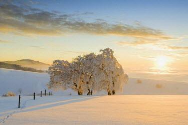 IBLDJS02026549 Snowy beeches (Fagus), Schauinsland mountain near Freiburg im Breisgau, Black Forest mountain range, Baden-Wurttemberg, Germany