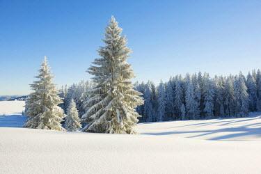 IBLDJS03026584 Snow-covered Fir (Abies sp.), Schauinsland, Baden-Wurttemberg, Germany