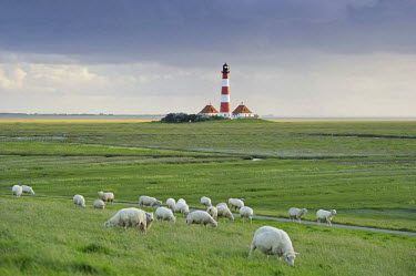 IBLDJS03032835 Lighthouse and sheep, Westerheversand, Westerhever, Eiderstedt, North Frisia, Schleswig-Holstein, Germany