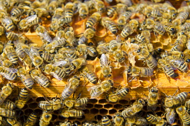 IBLFBD02335728 Carnica bees (Apis mellifera carnica) on the wooden frames of their honeycombs, Nuertingen, Bavaria, Germany