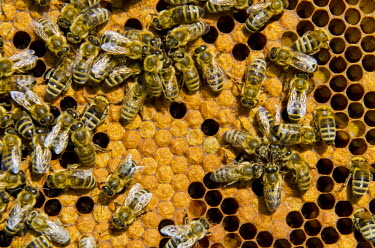 IBLFBD02335749 Carnica bees (Apis mellifera carnica) at their partly covered brood combs, Nuertingen, Bavaria, Germany