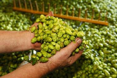 IBLMAN01692661 Harvested hop cones, hop harvest, Hallertau, Holledau or Hollerdau, Upper Bavaria, Bavaria, Germany