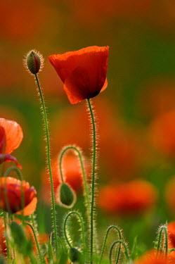IBLSEI02276970 Poppy flower and buds (Papavers sp.), Pfaffenhausen, Lower Allgaeu, Swabia, Bavaria, Germany