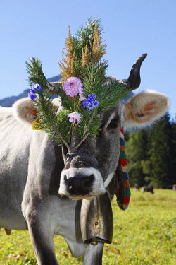 IBLMAN01714713 Decorated cow, cattle drive, Tannheim, Tannheimer Tal high valley, Tyrol, Austria