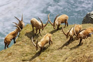 IBLMAN03570027 Alpine Ibex (Capra ibex), Margaritzen Reservoir, High Tauern National Park, Heiligenblut, Carinthia, Austria